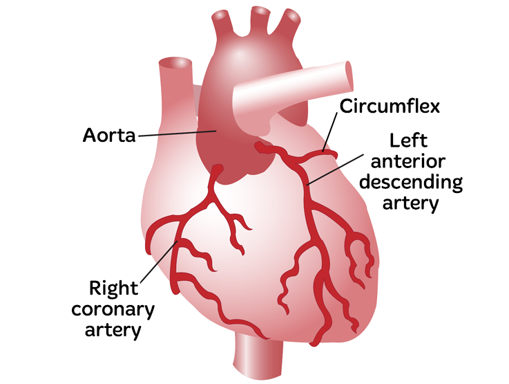 heart with arrows to the left coronary artery, aorta and right coronary artery